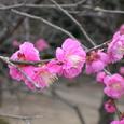 意賀美神社の梅