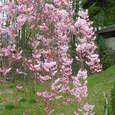 枝垂桜・・・ですよね?