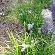 石光寺の寒咲きアヤメ