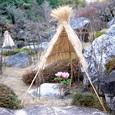 當麻寺の寒牡丹Ⅱ