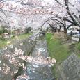 哲学の道の桜Ⅲ