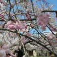 哲学の道の桜Ⅱ