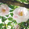 霊鑑寺の椿「雪中花」
