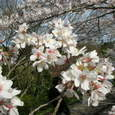 インクラインの桜Ⅰ