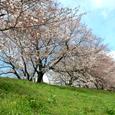 八幡・背割堤の桜Ⅰ