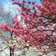 八幡・背割堤の桜Ⅲ