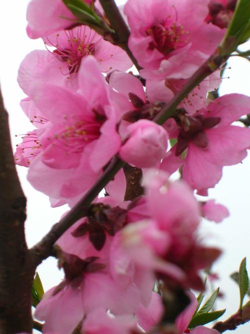 これは、桃の花ですか?