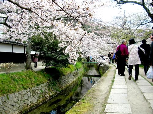 哲学の道の桜Ⅰ