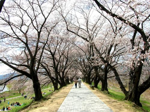 八幡・背割堤の桜Ⅱ