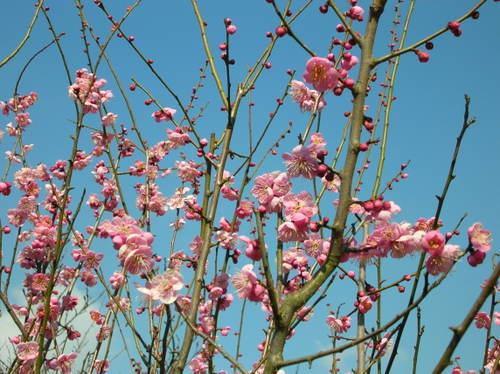 枚岡神社の梅